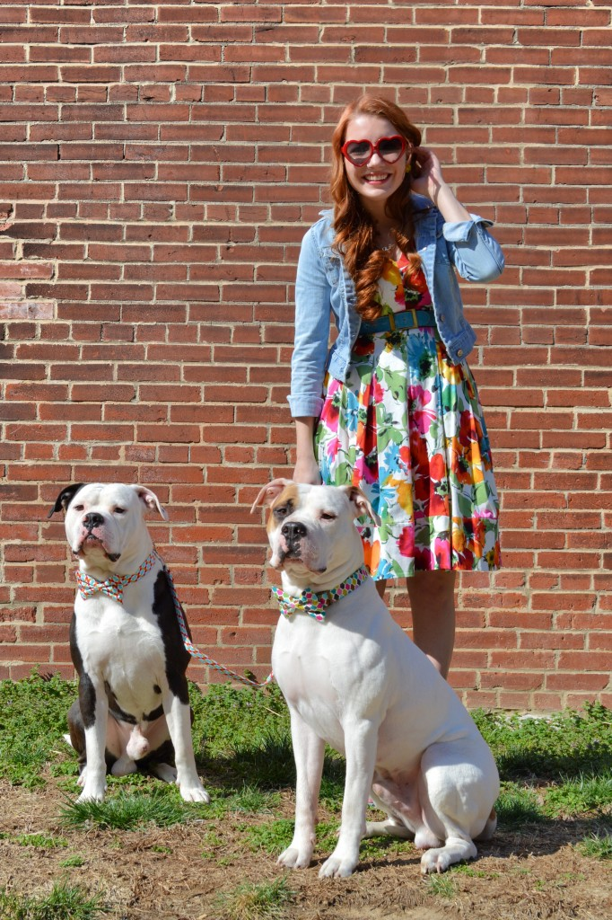 Bulldogs in Bowties photo shoot plus Floral Dress ed (134)