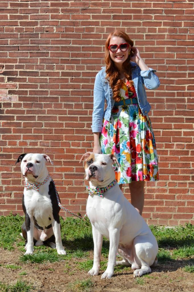 Bulldogs in Bowties photo shoot plus Floral Dress ed (134)
