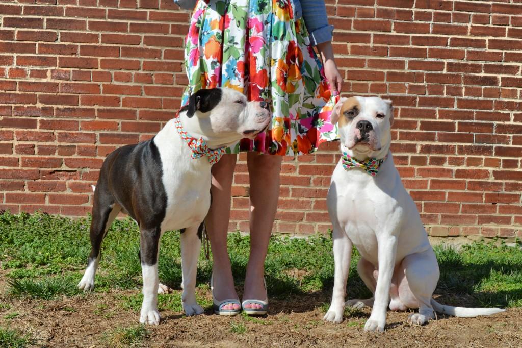 Bulldogs in Bowties photo shoot plus Floral Dress ed (135)