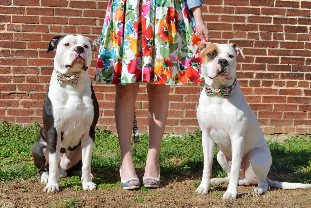 Bulldogs in Bowties photo shoot plus Floral Dress ed (137)