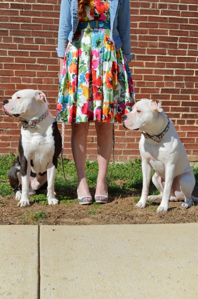 Bulldogs in Bowties photo shoot plus Floral Dress ed (138)